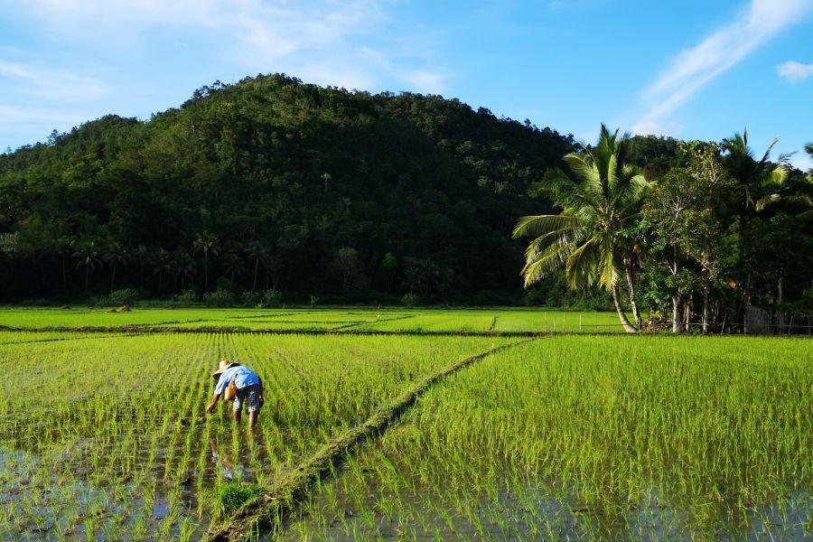 Riževa polja na Palawanu.