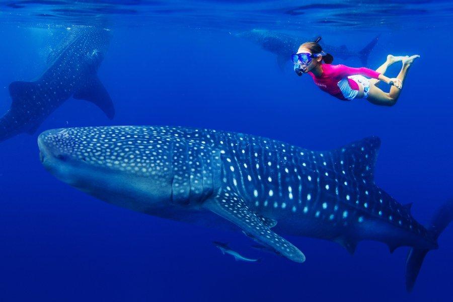 Plavanje z morskim psom kitovcem.