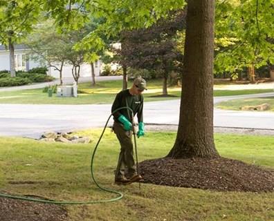 Professional arborist ferilizing a tree