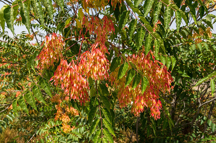 Der invasive Götterbaum verwildert in dichten Beständen.
