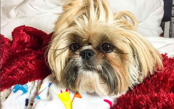 grooming-your-dog-at-home-shihtzu-instagram-famous