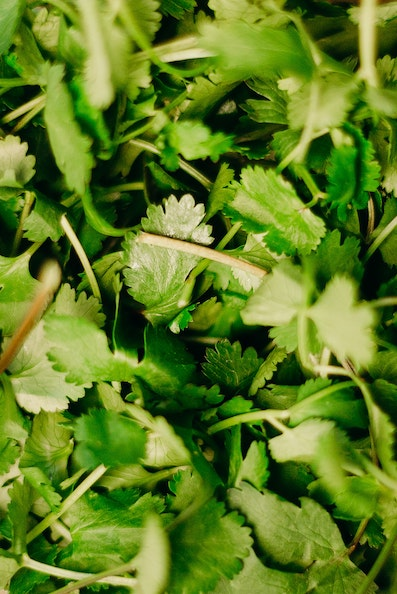 Bunch of cilantro leaves