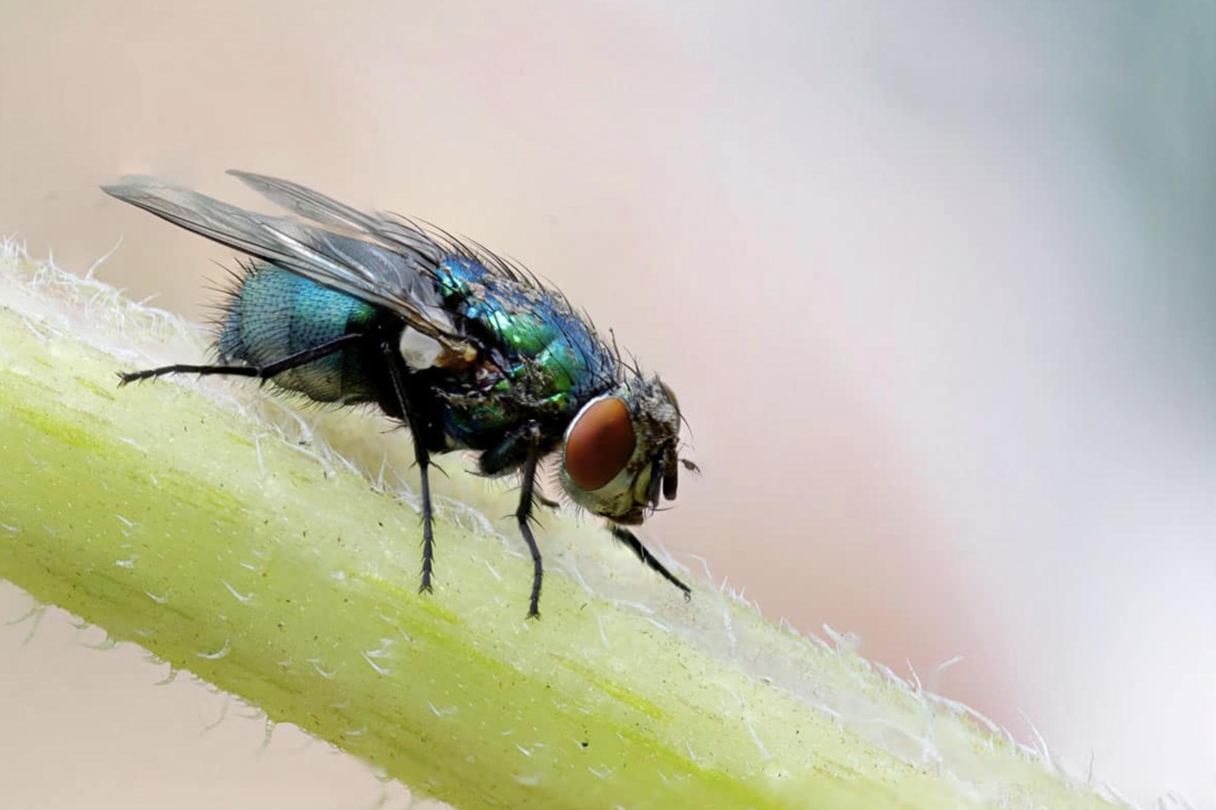 Prévenir une infestation de mouche  Le guide