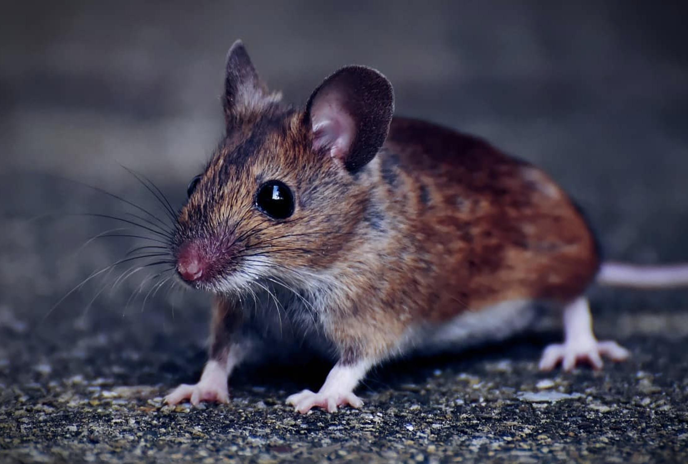 Comment se débarrasser d'un nid de souris dans la maison ?