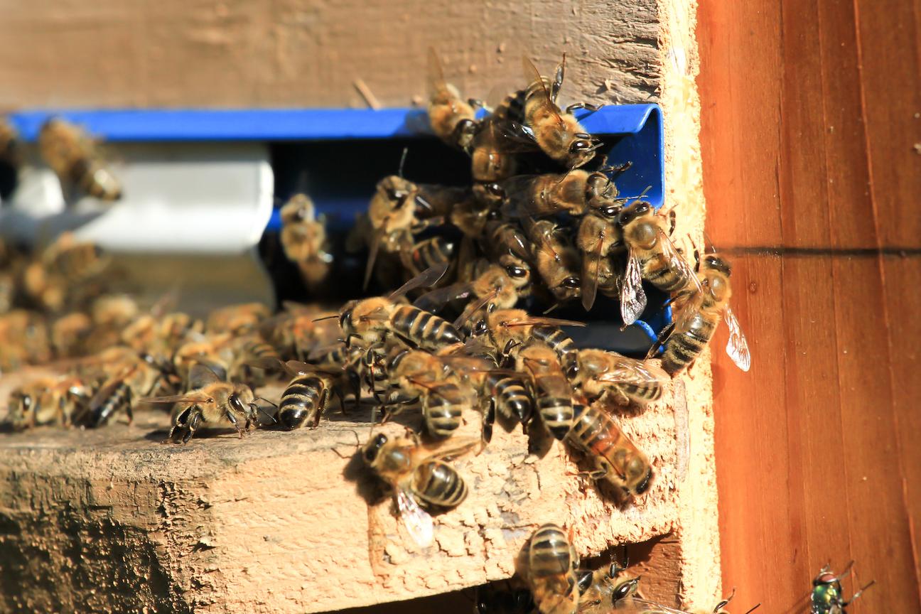 Extermination d'abeilles