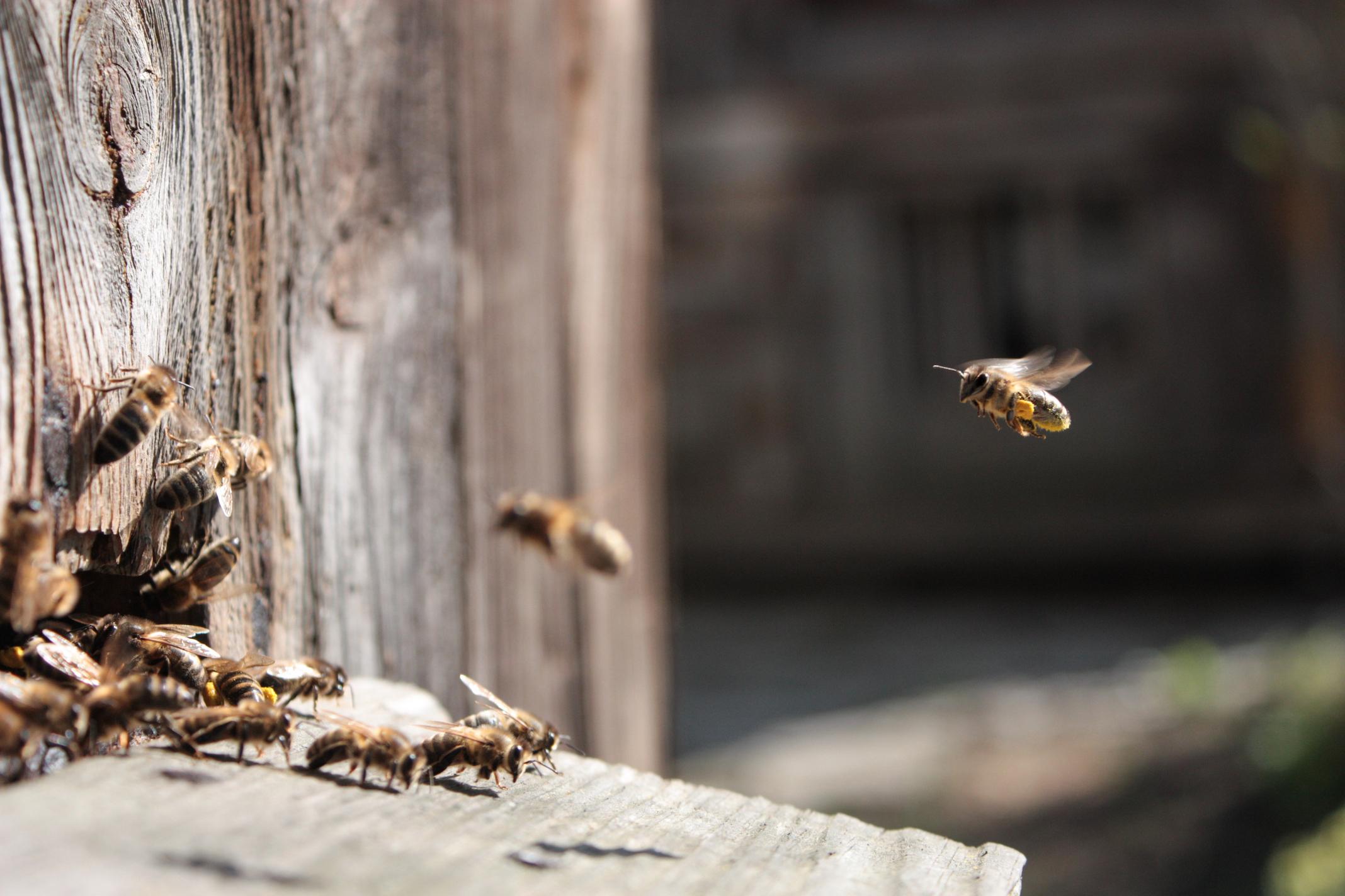 Les abeilles sont-elles dangereuses?