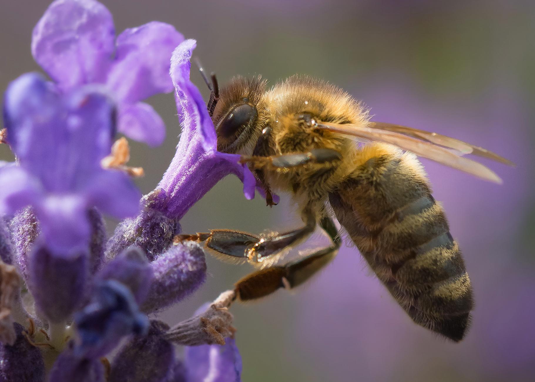 Que faire en cas de piqûre d'abeille?