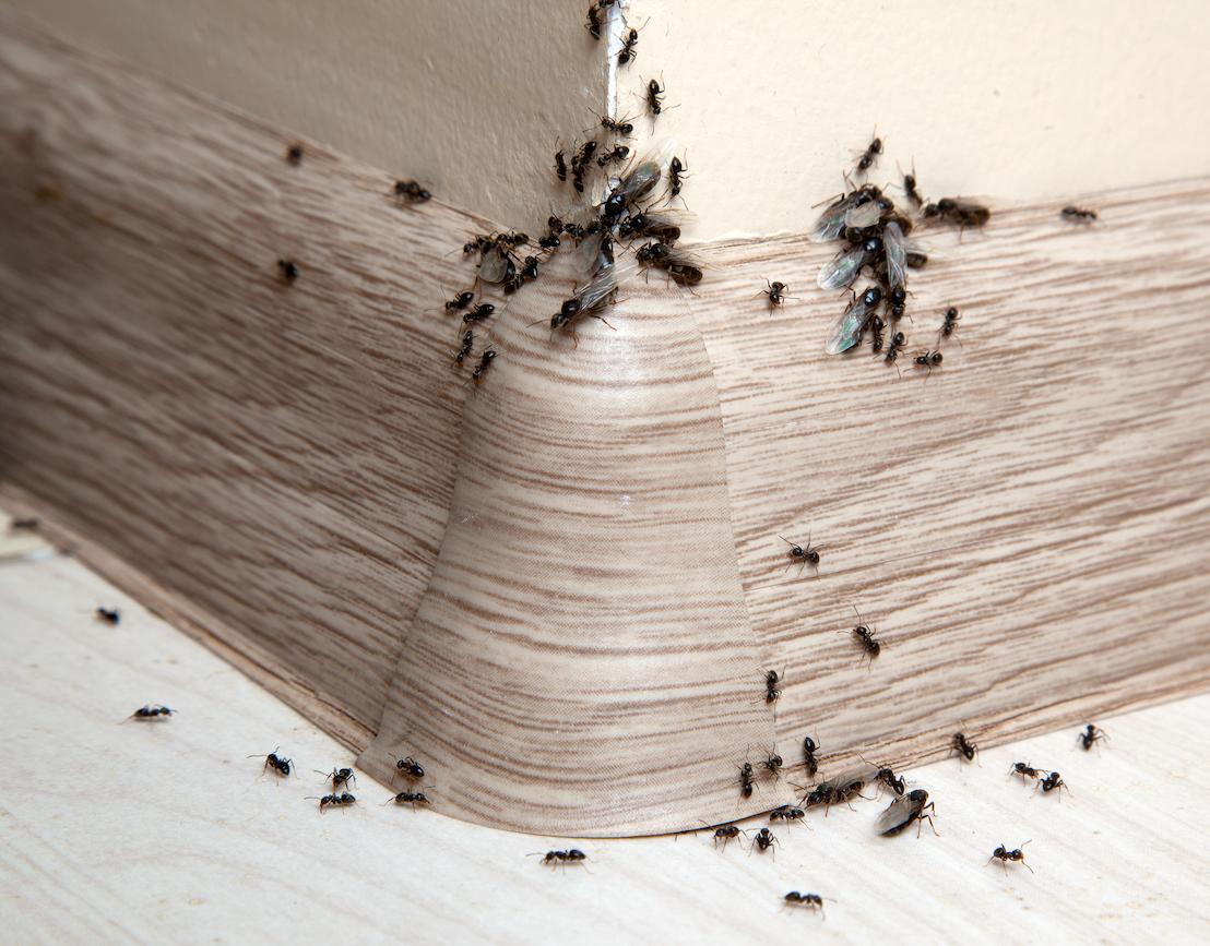 De quoi se nourrissent les fourmis de pavé?