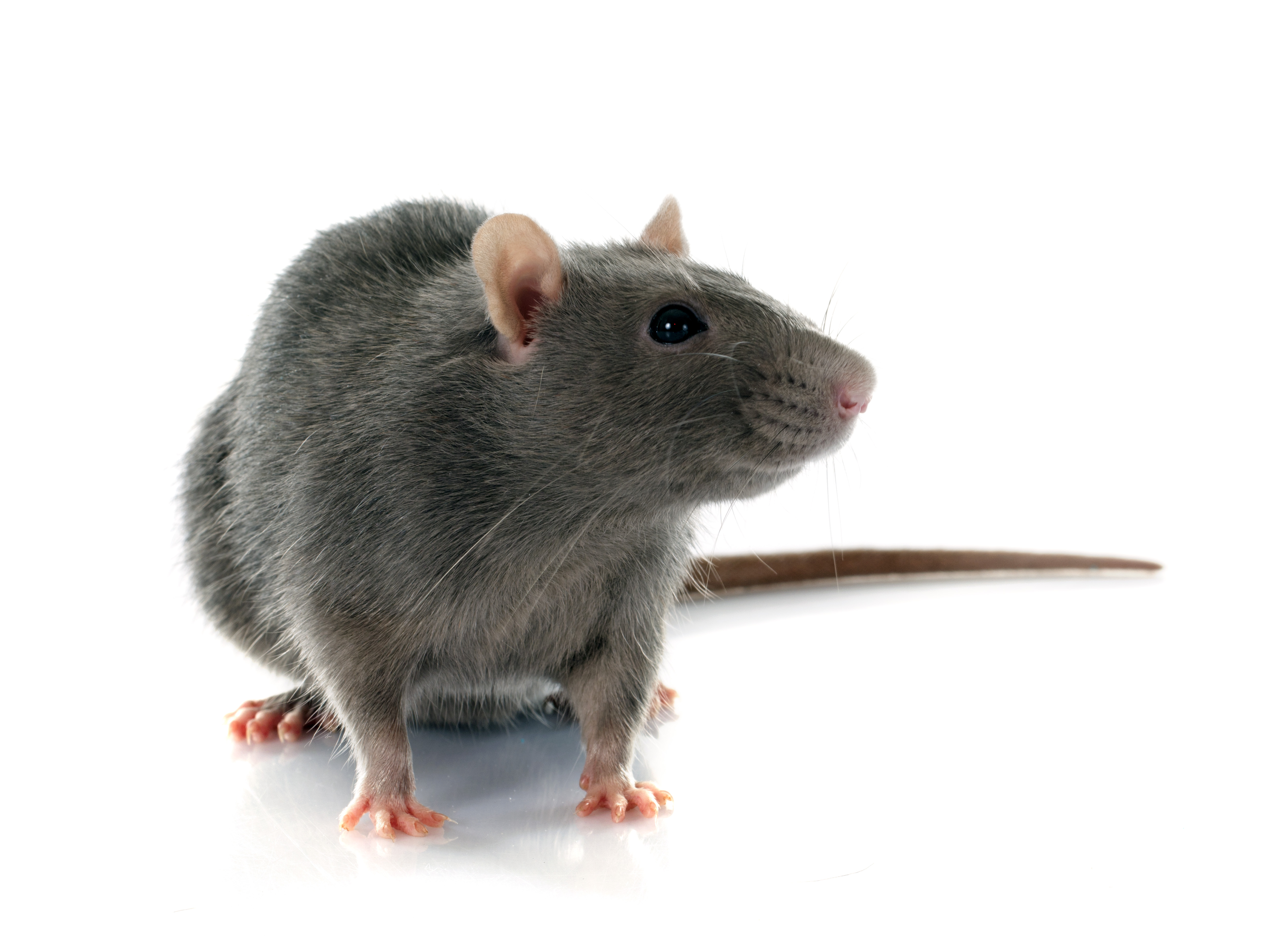 Que faire en cas de morsure de rat?