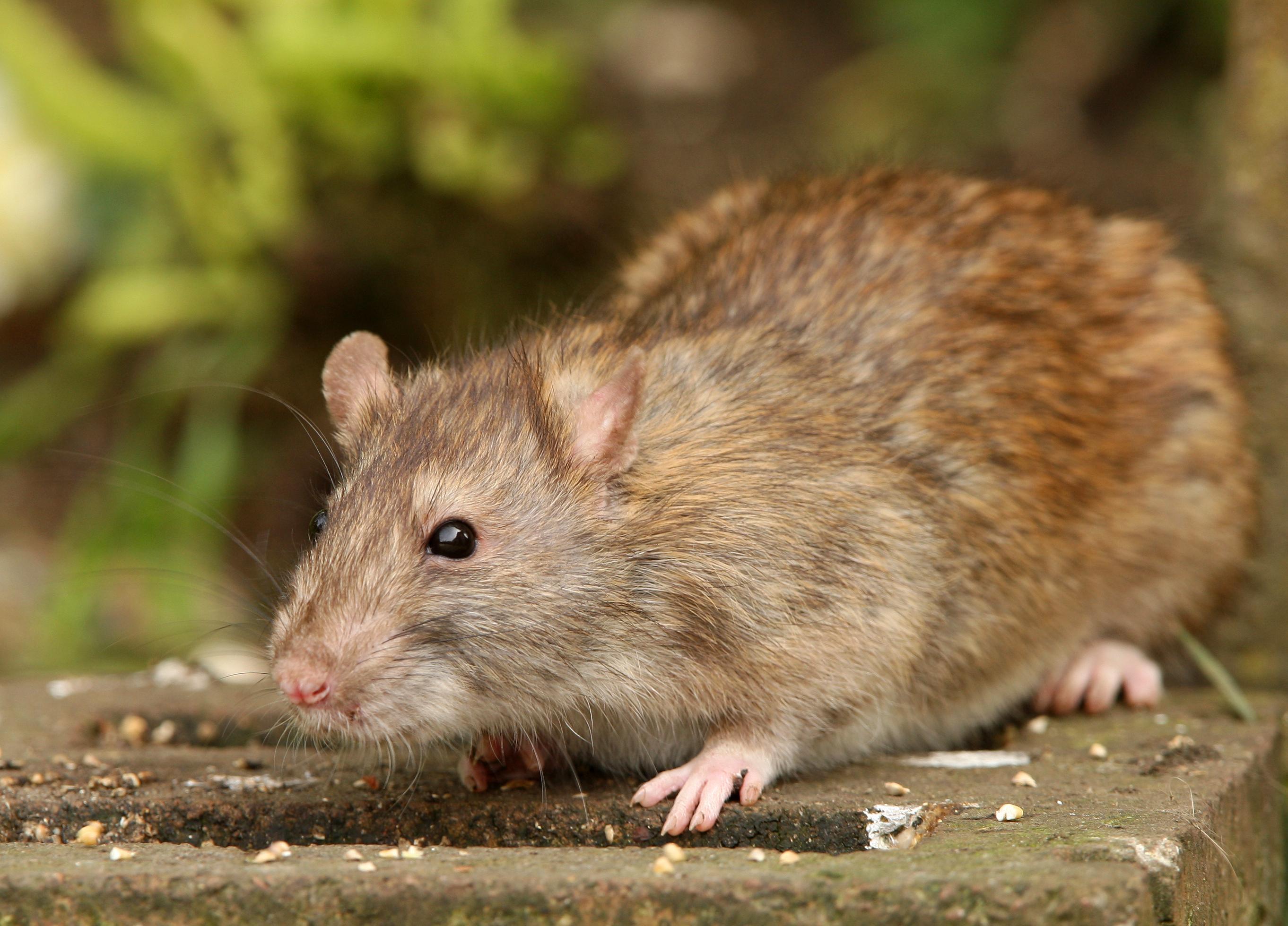 Quelles sont les maladies transmises par les rats?