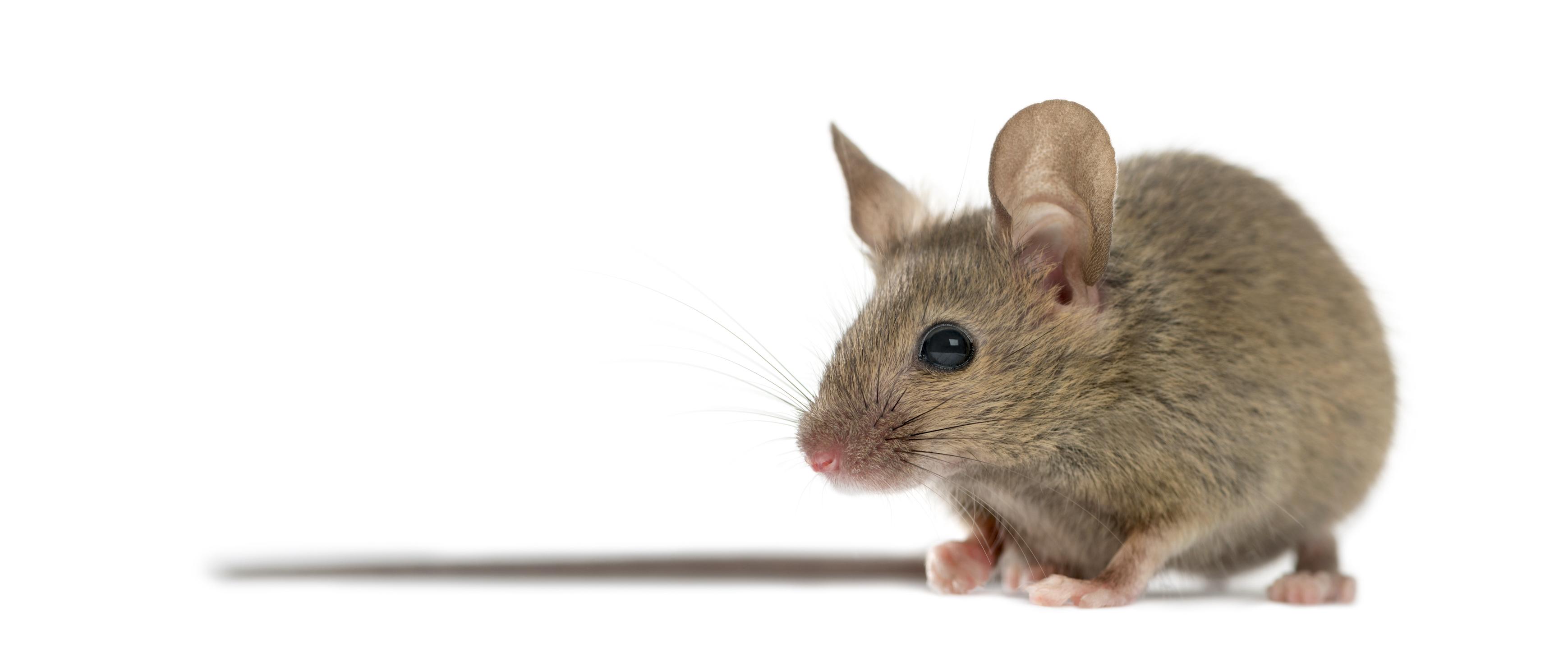 Extermination de souris
