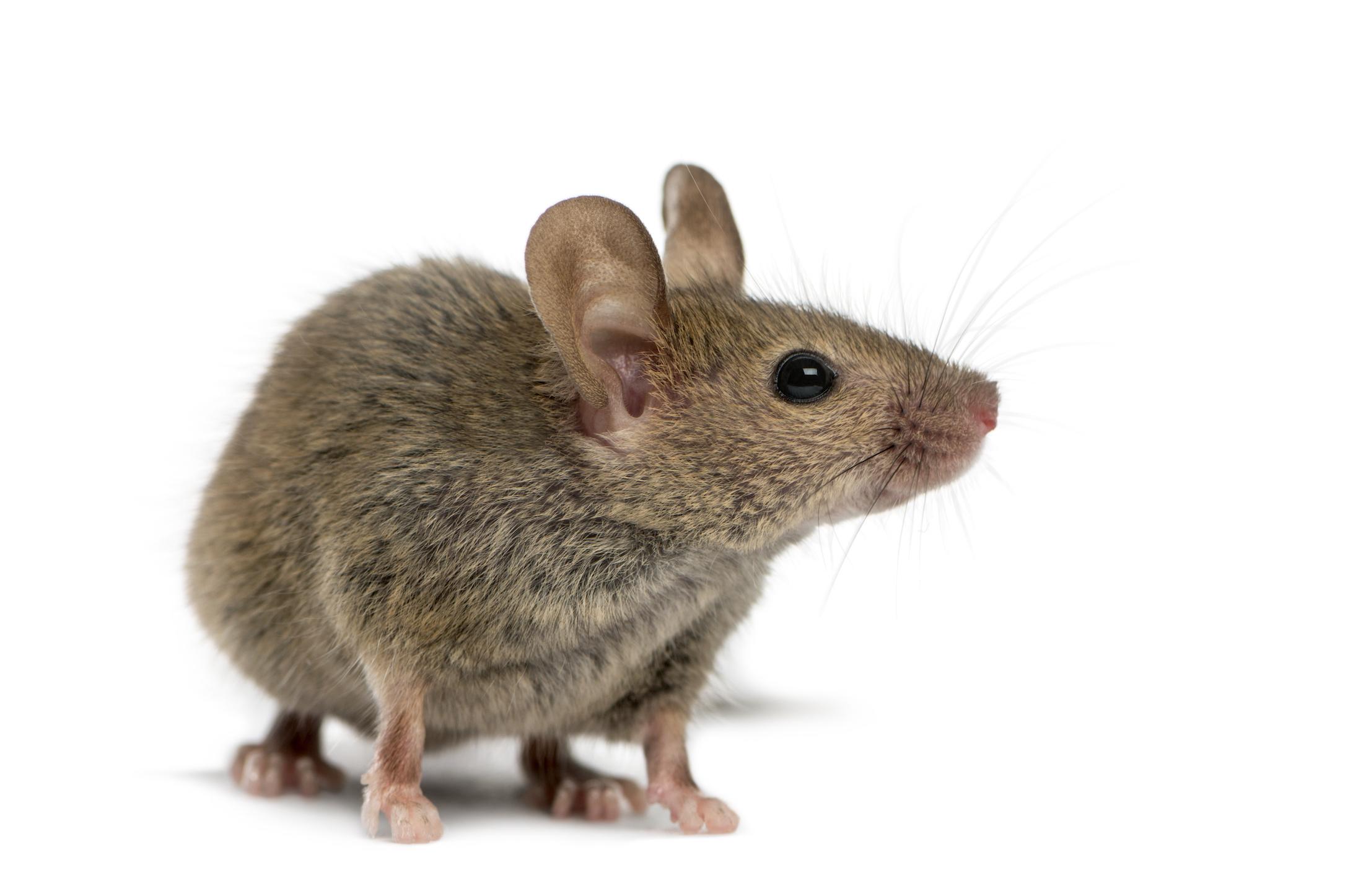 Comment prévenir les infestations de souris?