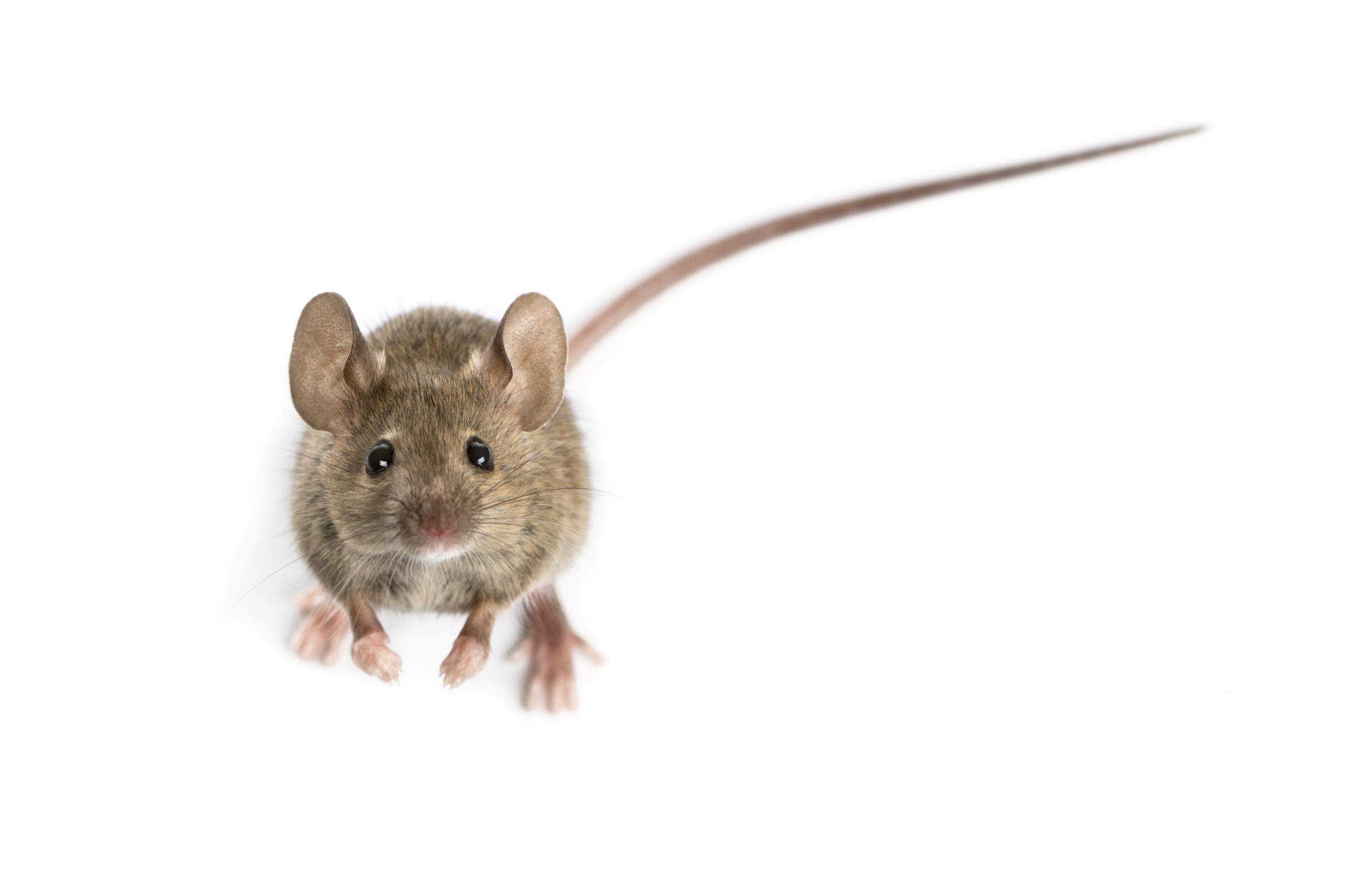 Comment savoir si des souris sont dans la maison?