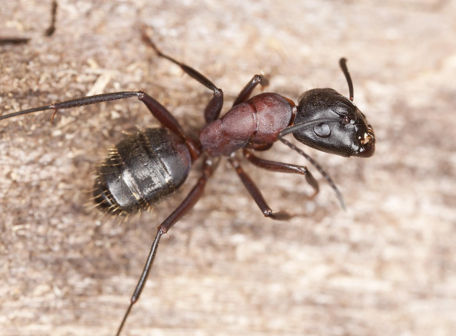 Où retrouve-t-on la fourmi charpentière?