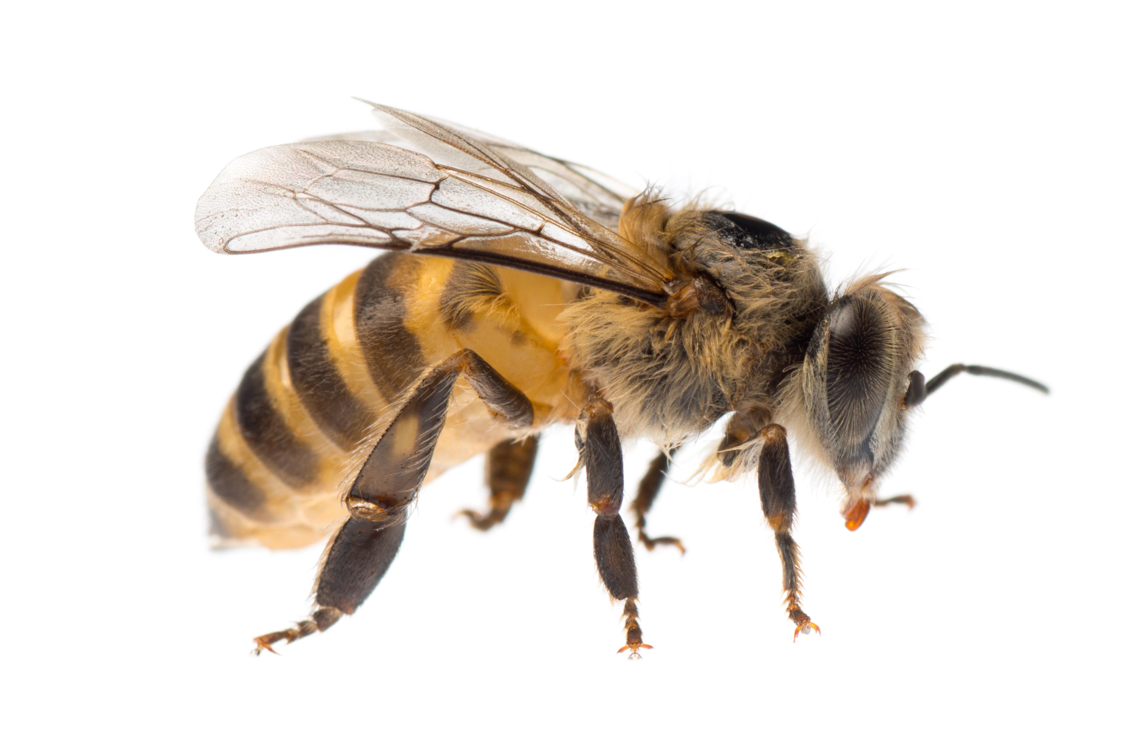 Que faire si je trouve un nid d'abeilles?