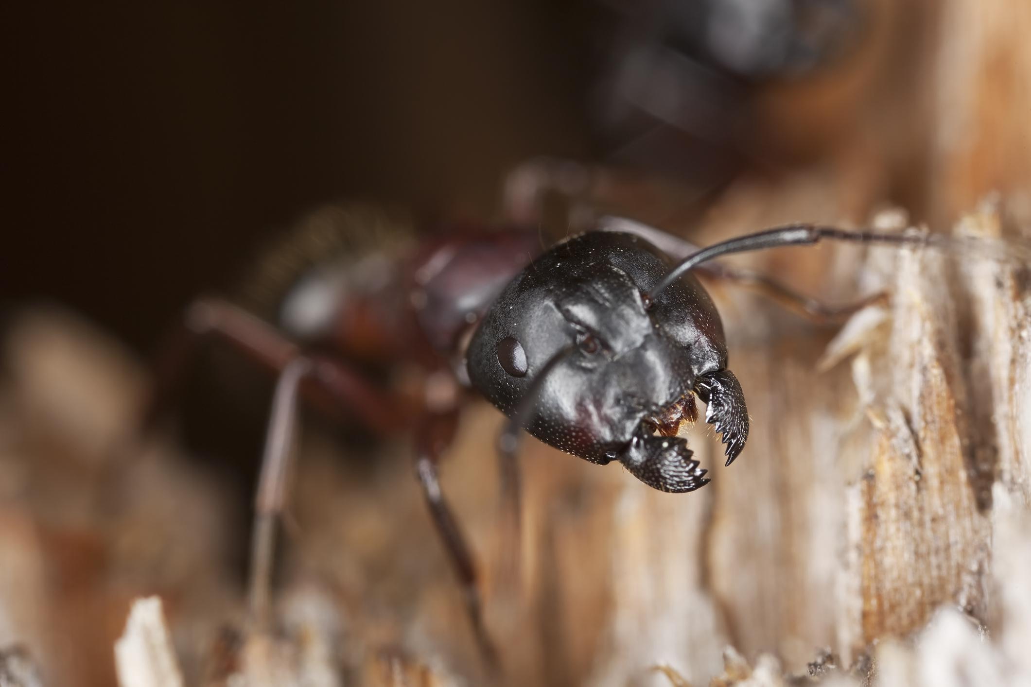 Extermination de fourmis charpentières