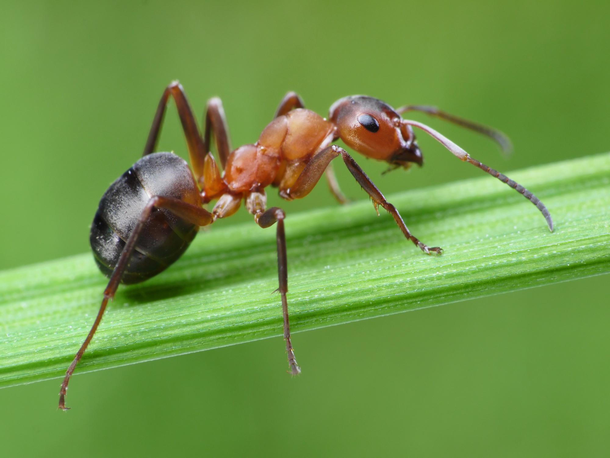 Extermination de fourmis de pavé