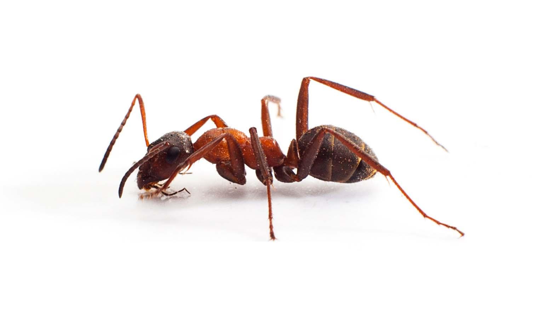 Comment prévenir les invasions de fourmis de pavé?