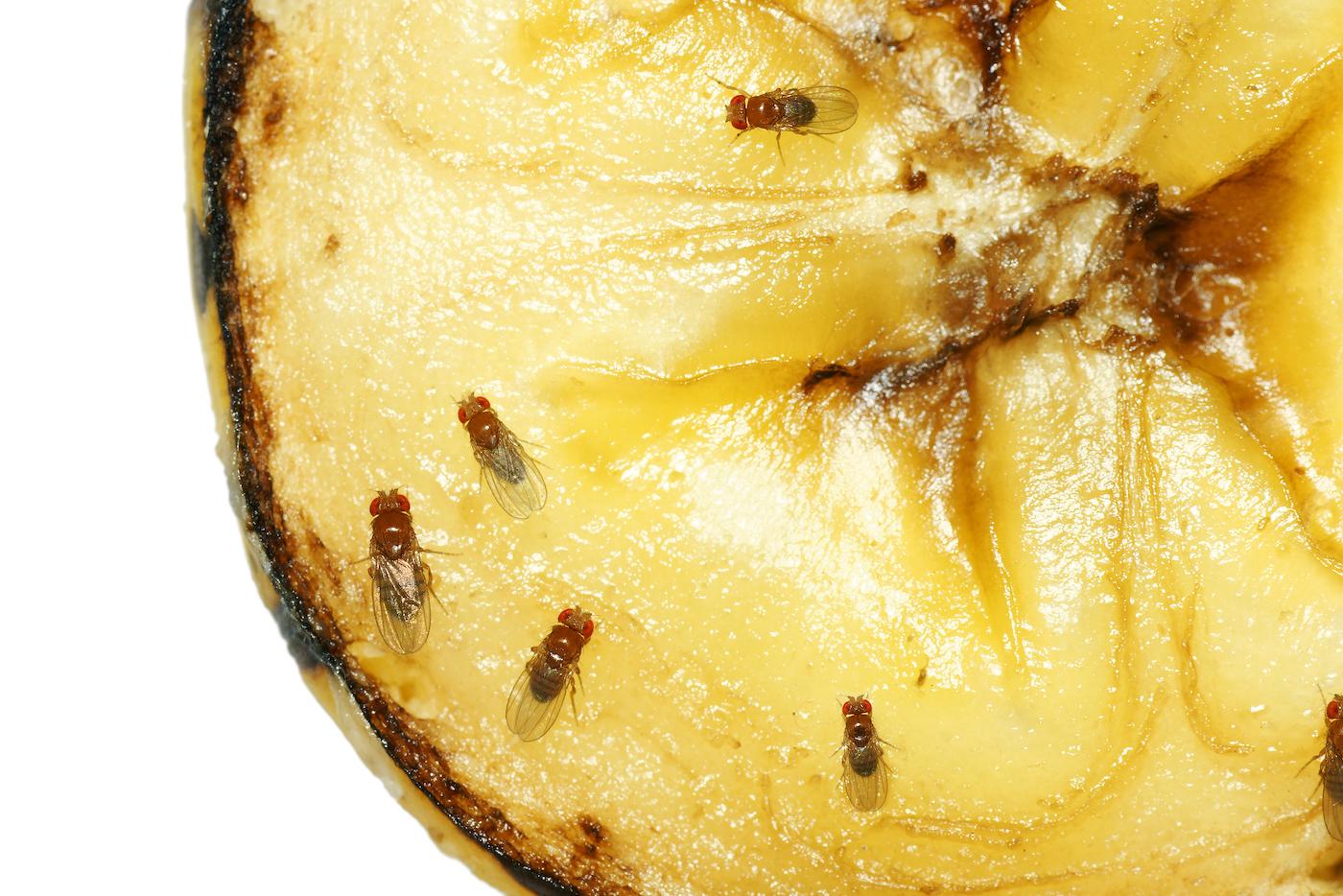 Ces mouches à fruits qui nous envahissent