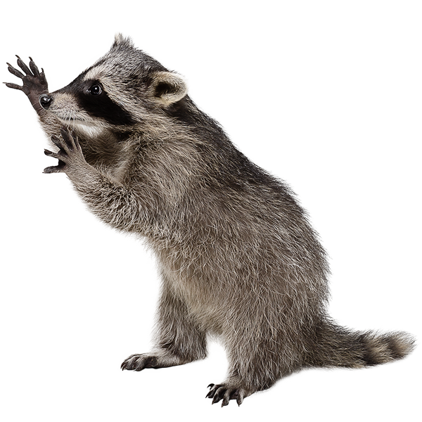racoon image png