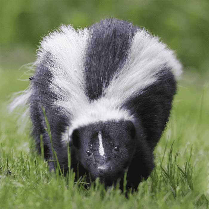 Skunk in field