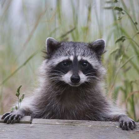 Racoon on porch