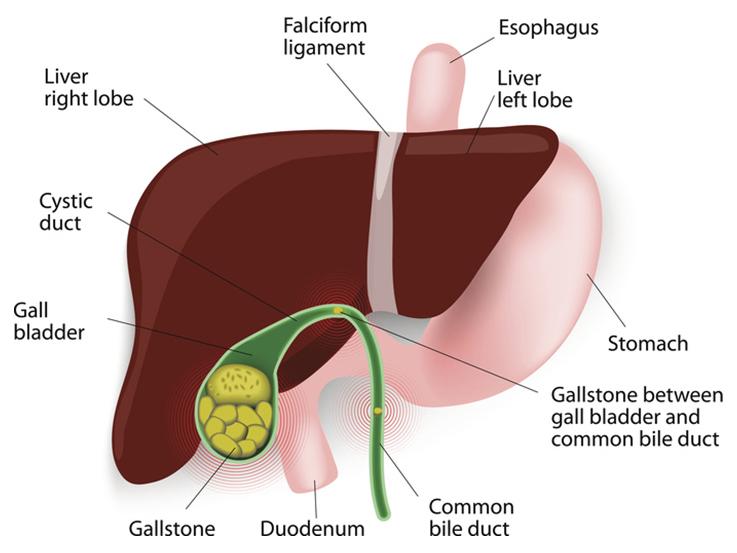 Liver diagram description