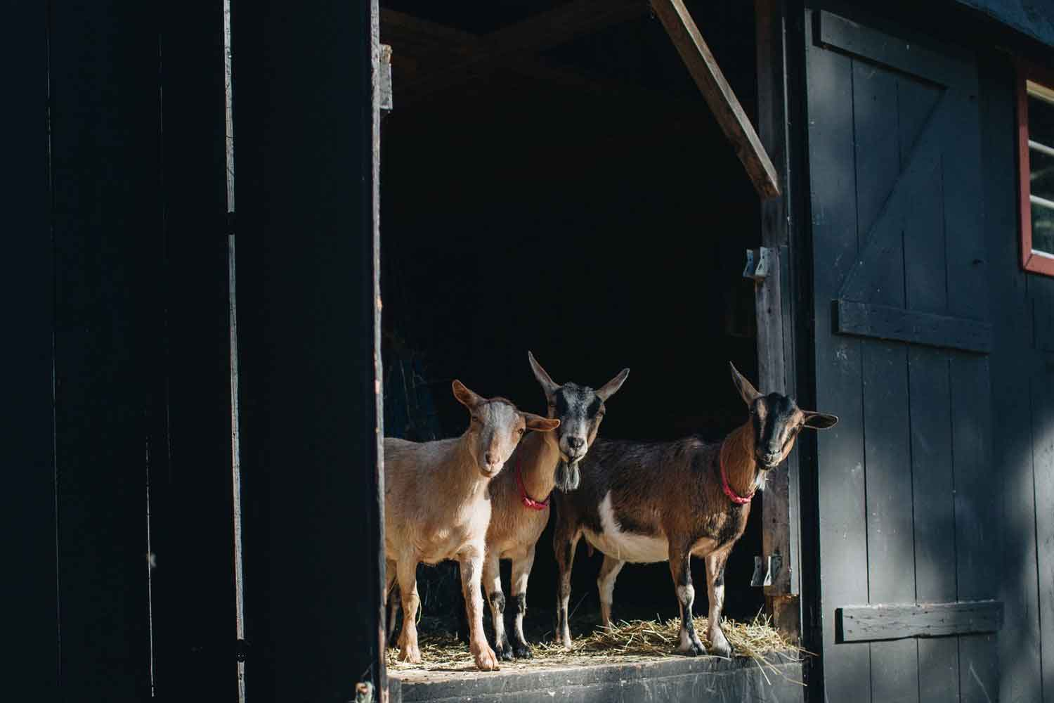 Goats at the Squire Tarbox Inn