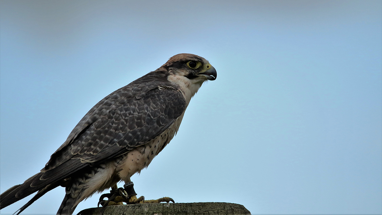 Lannier Falcon