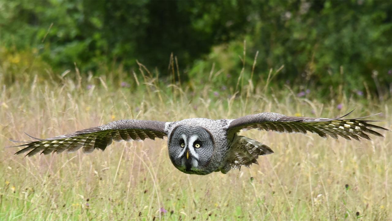 Lappish Owl