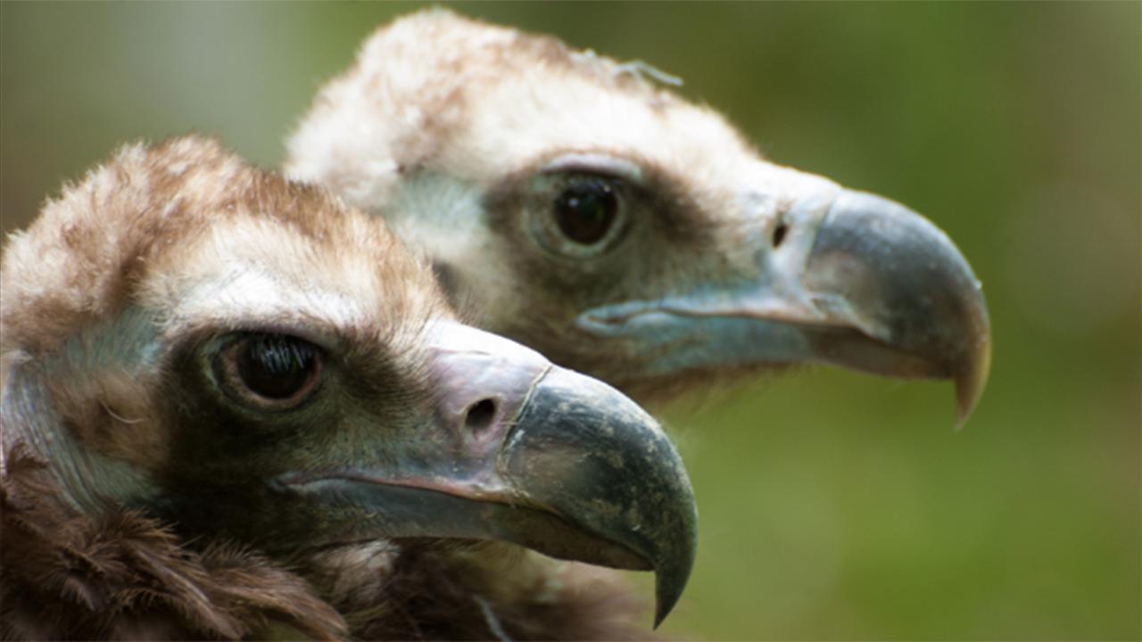 Bald Vulture