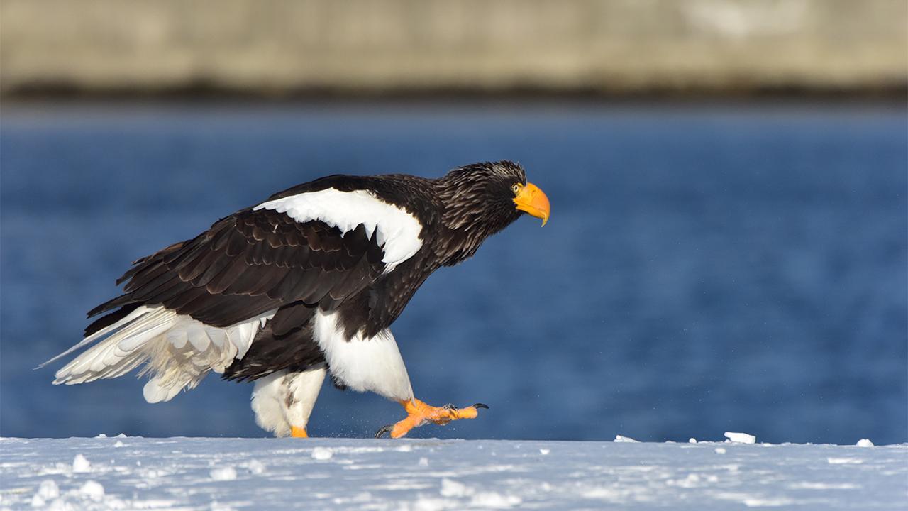 Emperor Eagle