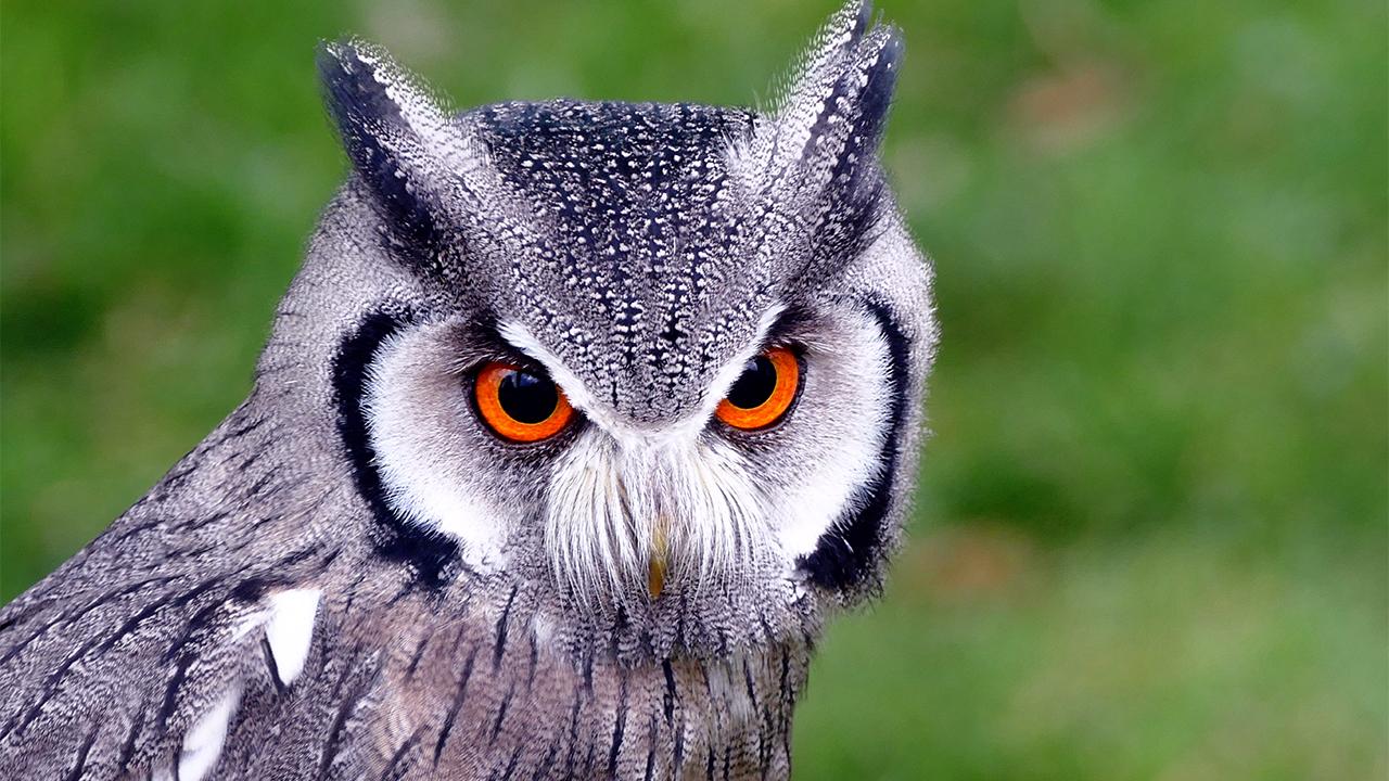 White-faced Screech-Owl