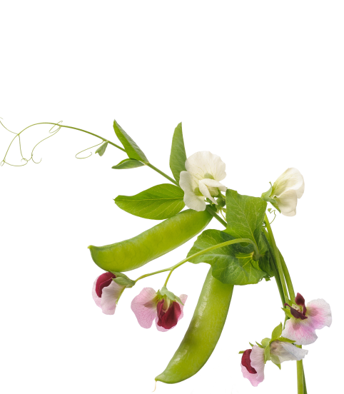 Yellow pea flower and plant
