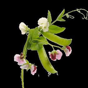 Yellow Pea Flower