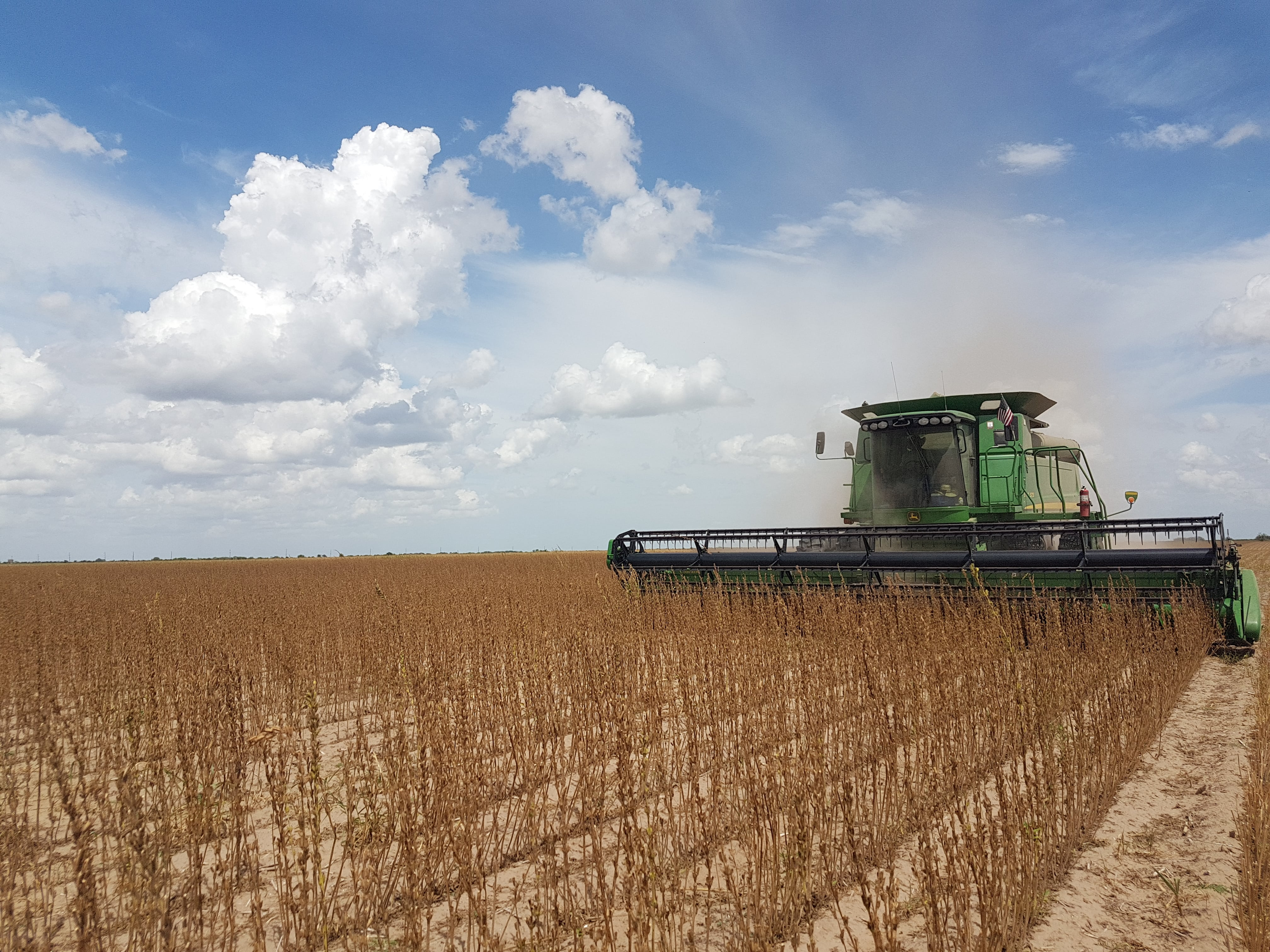 A field of sesame seeds with a farmer