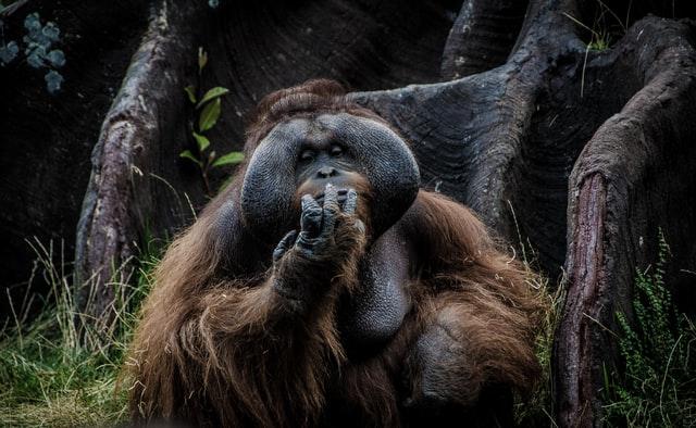 Orangutan in the forest in Asia