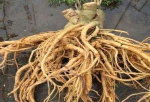 Rễ cây đinh lăng - Điều trị xuất tinh sớm bằng thuốc nam