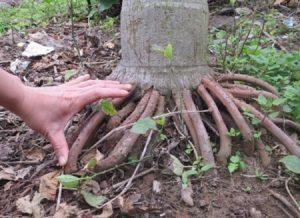 Bài thuốc nam chữa xuất tinh sớm - Rễ cau treo