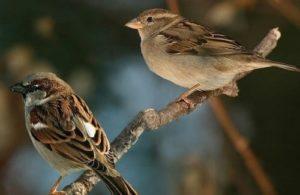 Rượu thuốc chống xuất tinh sớm từ chim sẻ