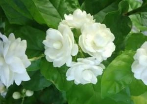 Cách chữa nhọt ở mông bằng hoa nhài