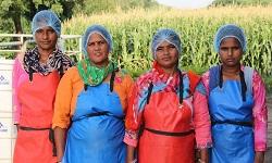 Blog images consisting of Binsar Farms core teams producing fresh cow milk