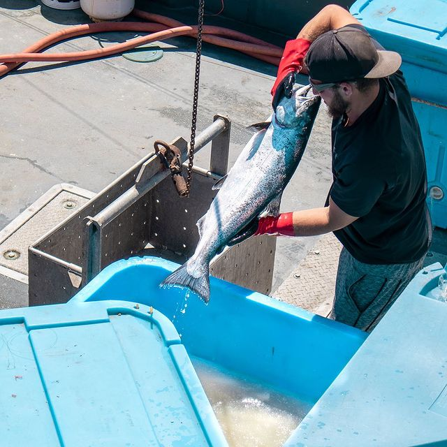 Local King Salmon being offloaded