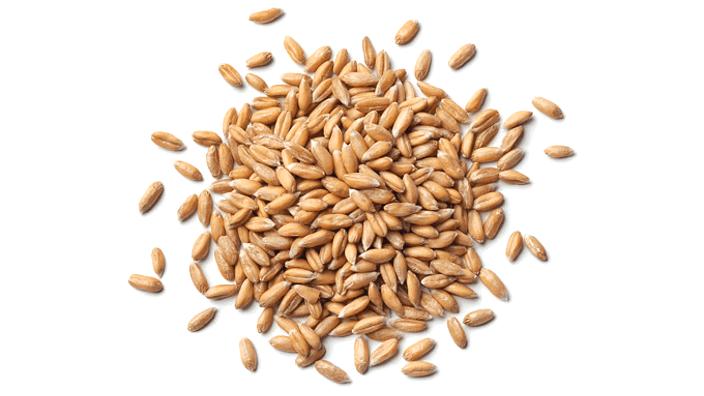 A heap of malted organic spelt grain.
