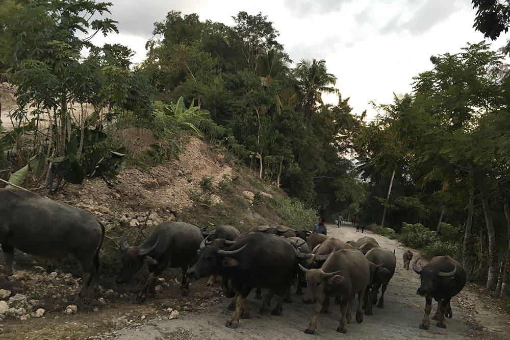 Buffle sur la route - Sumba