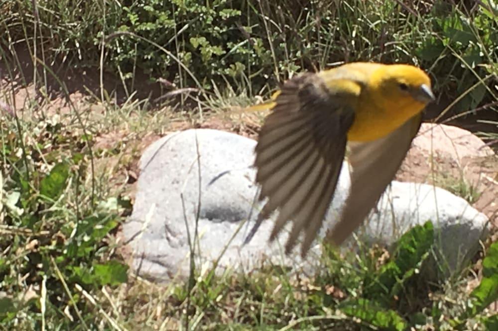 Petit oiseau jaune - Argentine