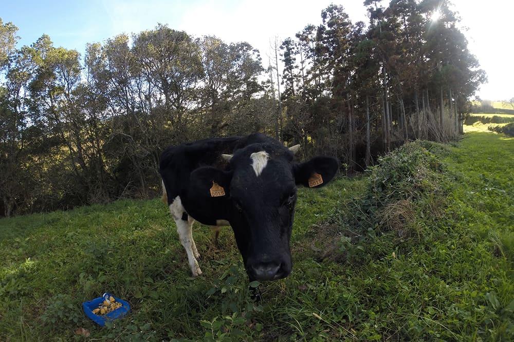 Vache normande ?