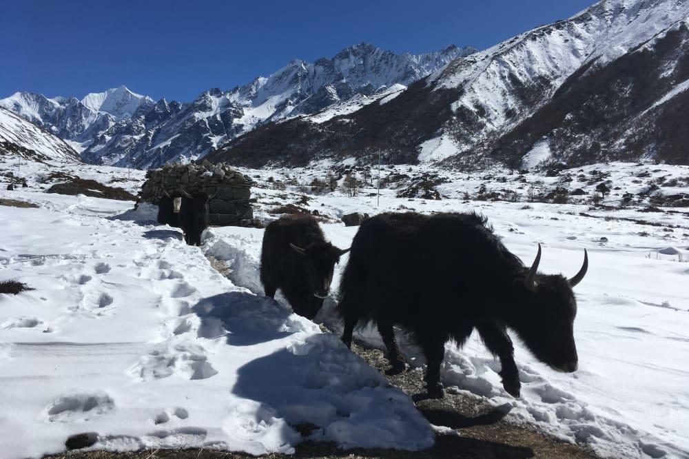 Yak - Népal