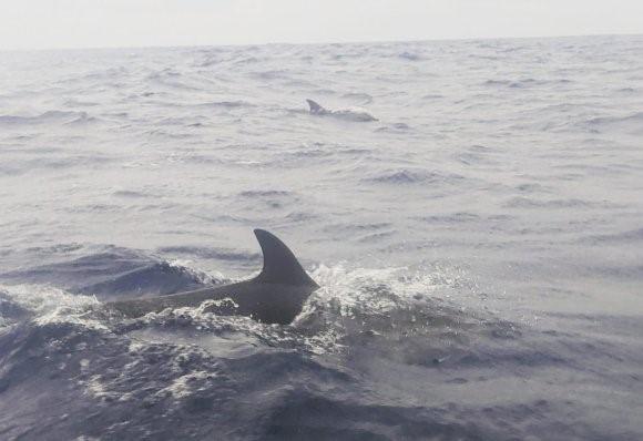 Os golfinhos são nossos companheiros constantes