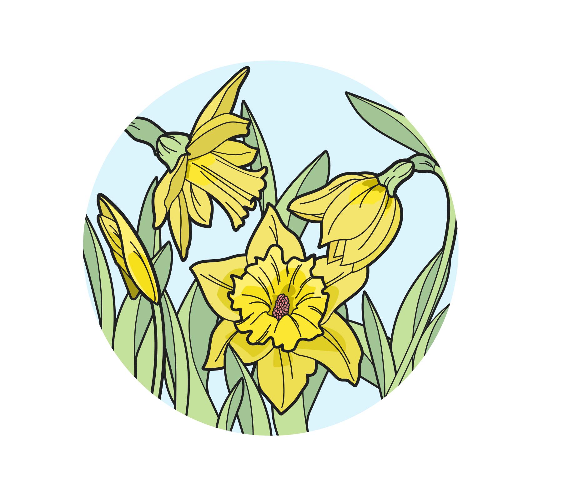 Daffodils illustration